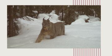 Mammal Monitoring in Alberta Poster